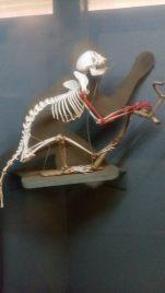 skeleton of a monkey