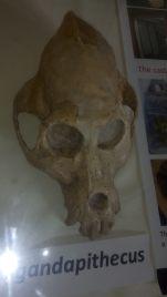 Ancient human head skulls